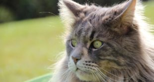croccantini royal canin maine coon