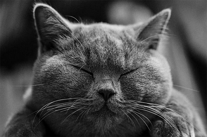 Il Gatto British Shorthair: Carattere, Origini e Prezzo