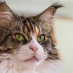 Maine Coon Foto - 1