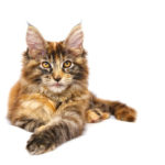 Maine Coon Foto - 2