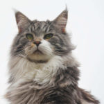 Maine Coon Foto - 3