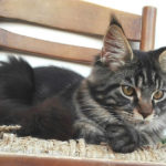 Maine Coon Foto - 4