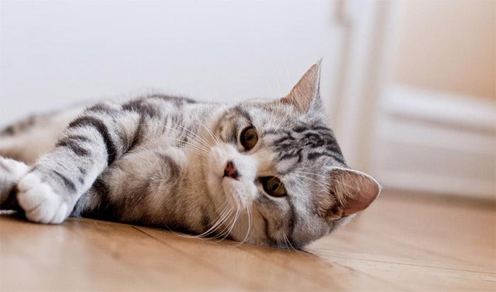 Il Gatto Scottish Fold Carattere Origini E Prezzo Cose Di Gatti