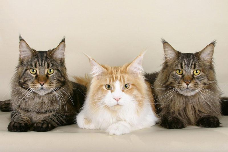 Il Gatto Maine Coon: Carattere, Origini e Prezzo
