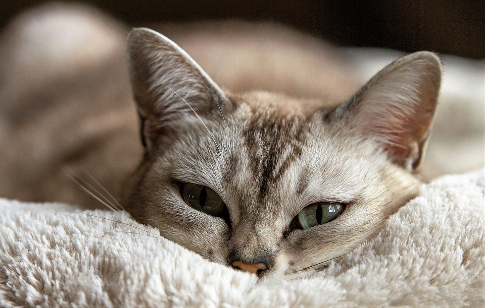 Come Capire se il Gatto ha la febbre