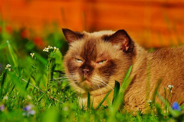 Il Gatto British Shorthair Carattere Origini E Prezzo Cose Di Gatti