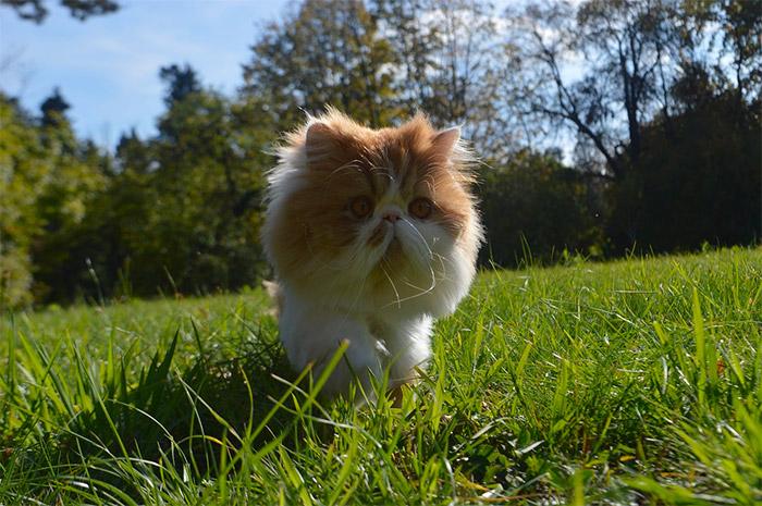 Gatto Persiano Carattere Origini E Prezzo Cose Di Gatti