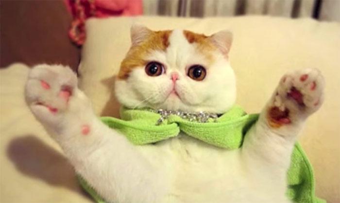 Snoopy Cat Exotic Shorthair Video Cose Di Gatti