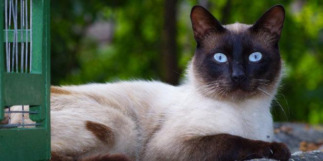 Gatto Siamese Carattere Origini E Prezzo Cose Di Gatti