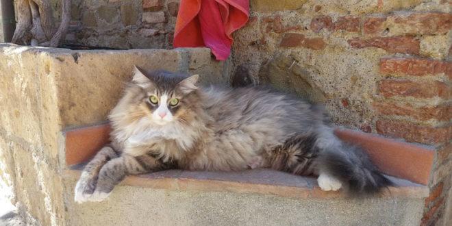 Gatto Siberiano Carattere Origini E Prezzo Cose Di Gatti