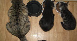cibo per gatti fatto in casa consigli utili
