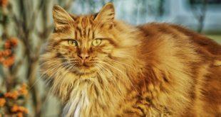 gatti giganti quali sono le razze dei gatti più grandi
