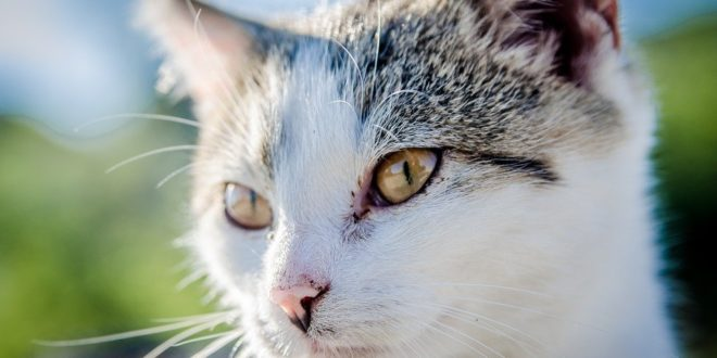 cardiomiopatia ipertrofica nel gatto