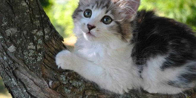 Gatto Bobtail Americano Carattere Origini E Prezzo Cose Di Gatti