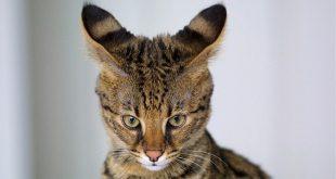 gatto savannah carattere origini e prezzo