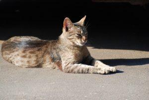 Gatto Savannah Carattere Origini E Prezzo Cose Di Gatti