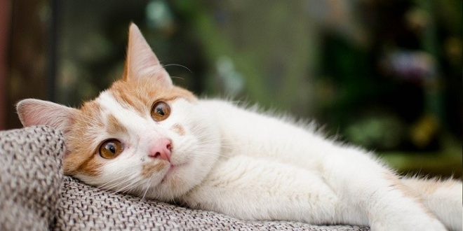 ai gatti piace la musica classica e si rilassano