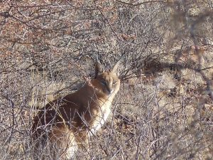 caracal lince del deserto