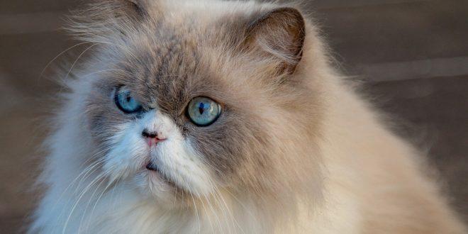 Come Pettinare Il Gatto Eliminare Il Pelo In Eccesso E I Nodi