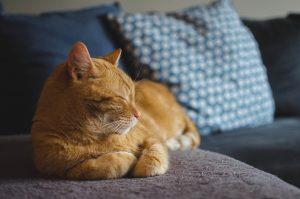 gatto che ascolta musica classica