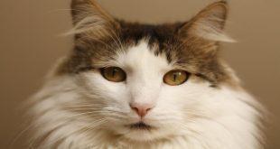 gatto-vomita-verde-cosa-significa-quando-preoccuparsi