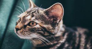 salviette-antibatteriche-per-pulizia-occhi-e-orecchie-gatti