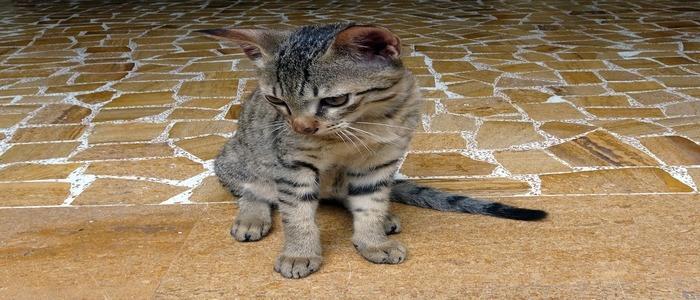 gattino-bengala-aspetto