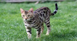 gatto-leopardo-o-bengala-che-razza-e