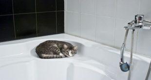 i-metodi-migliori-per-lavare-un-gatto-certosino
