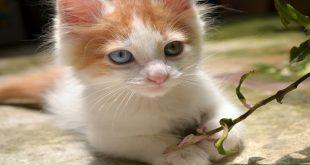 gatto-razza-turco-van-carattere-e-prezzo