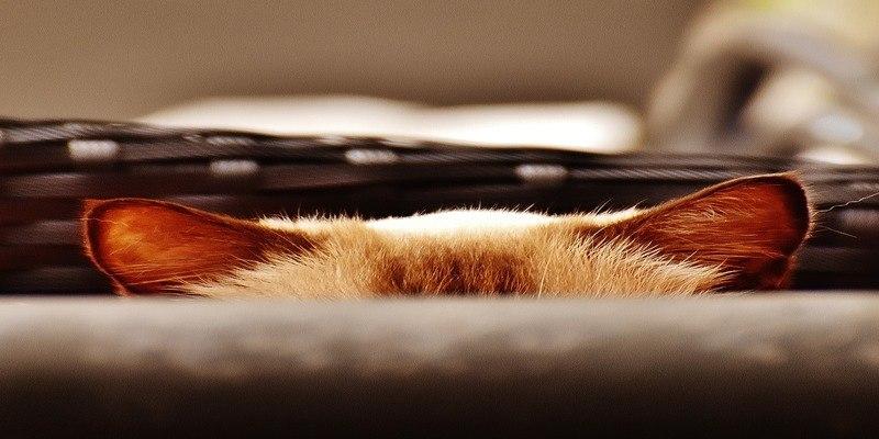 gatto-che-si-nasconde