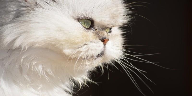 gatto-persiano-caratteristiche