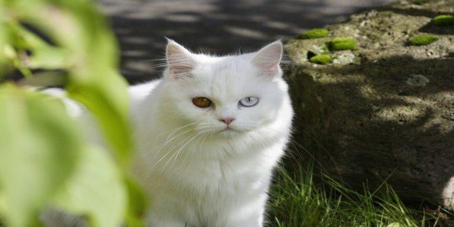 gatto-persiano-film-007