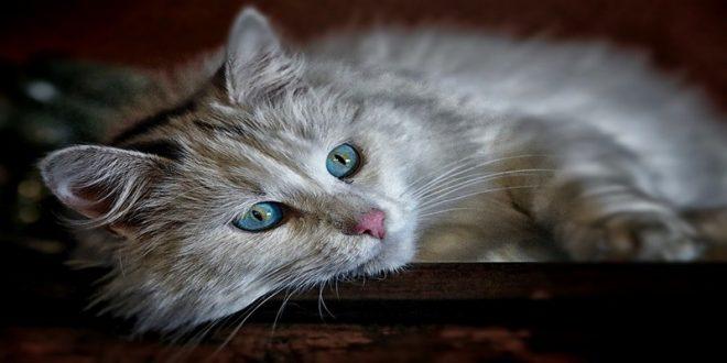 muta-felina-guida-completa