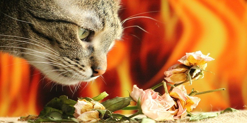 olfatto-sviluppato-gatto