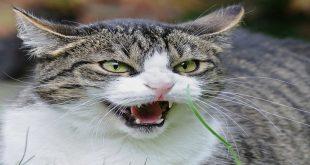 perche-i-gatti-si-arrabbiano