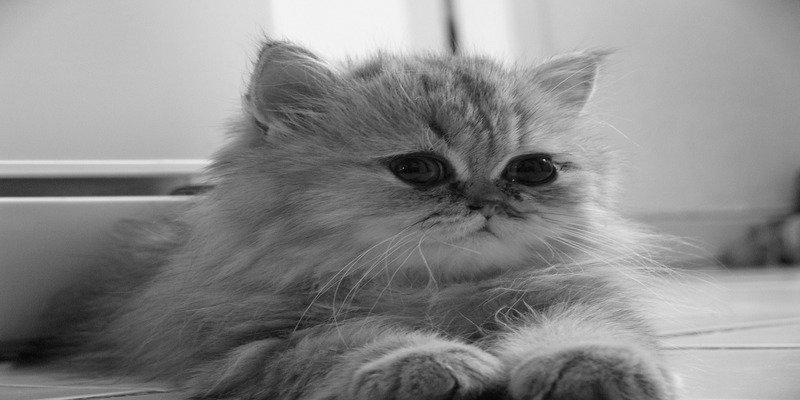 prezzo-e-caratteristiche-gatto-persiano